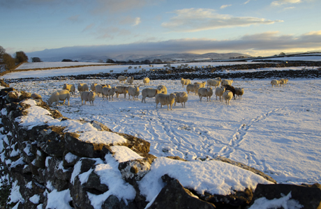 Domestic Sheep, flock, standing on snow covered pasture with drystone walls in late afternoon sunlight, Orton, Cumbria, England, november (Photo by: Minden Pictures/AP Images)