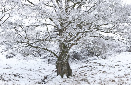 Sessile Oak (Quercus petraea) habit, ancient tree covered with snow, Powys, Wales (Photo by: Minden Pictures/AP Images)