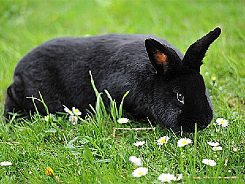 A black rabbit