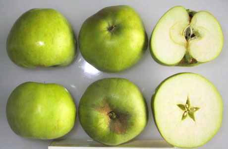 Grenadier apple