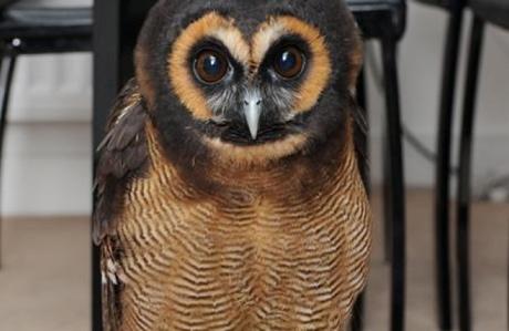 Haru the owl (Kent Online)