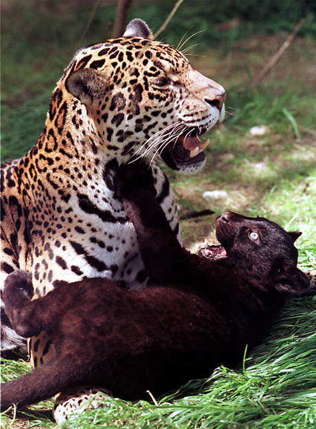 A rare 10-week-old black Jaguar Cub makes it's first appearance at Marwell Zoological Park, in south England Tuesday June 1, 1999 with it's mother Bonita. The Cub as yet unnamed will be named when a school enviromental competition is completed. (AP Photo/Str)