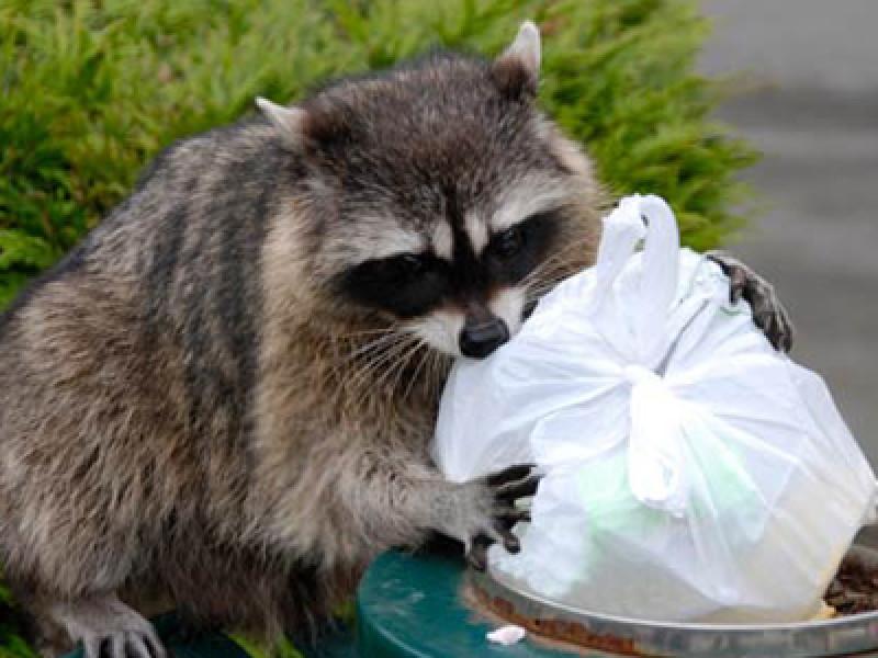 Raccoon, Garbage