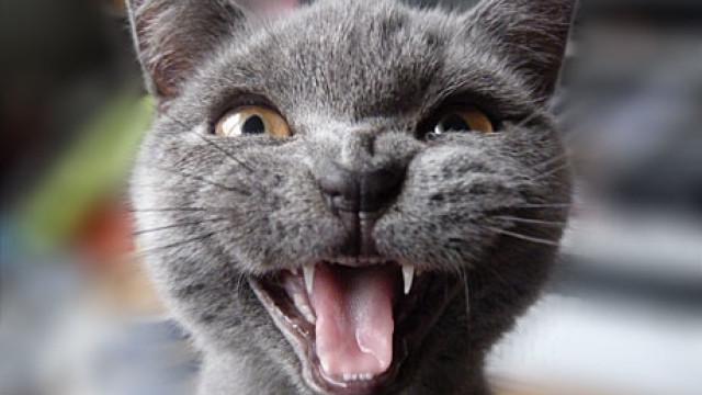 Fraser's cat