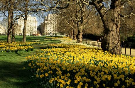 Daffodiles in Green Park, London, England, United Kingdom. (Ellen Rooney/Robert Harding /AP Images)