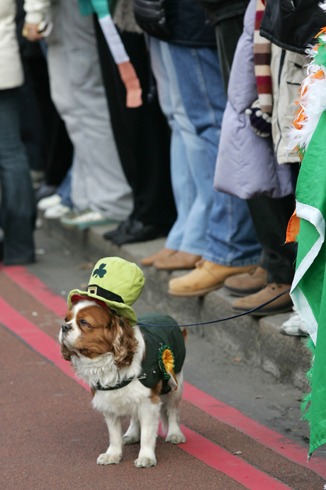 A dog dressed up in Irish attire watches the parade move through central London in a celebration of St Patrick's Day, Sunday, March 12, 2006. Thousands are taking to the streets for the parade and festival in central London, marking the contribution of the Irish community.(AP Photo/Sang Tan)