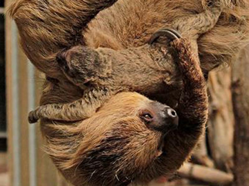 London zoo sloths