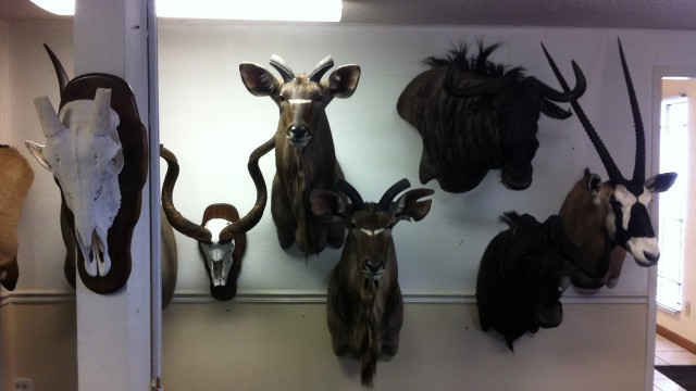 Safari Life Taxidermy studio - animal moulds.