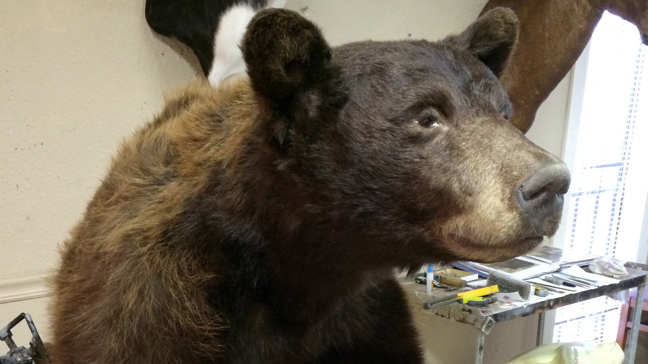 Safari Life Taxidermy studio - bear.