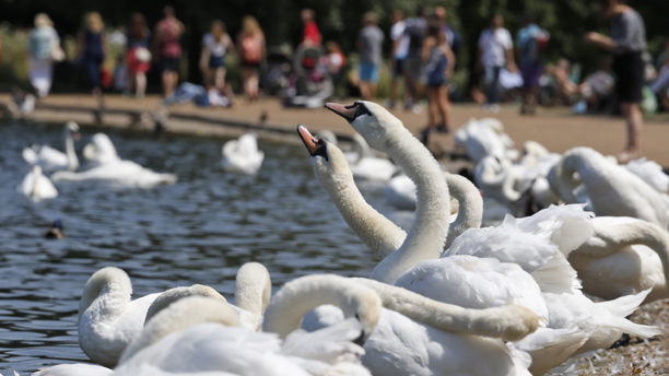 Swans are seen at a lake in central London's Hyde Park, Tuesday, July 9, 2013. After one of the coldest and wettest starts to the year on record, summer has finally arrived in most of Britain with temperatures reaching nearly 30C in southern England. (AP Photo/Lefteris Pitarakis)