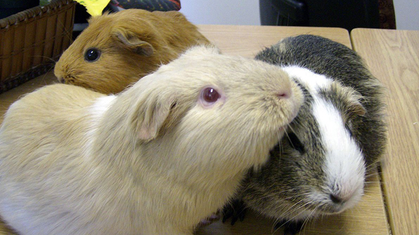 Three guinea pigs take part in social grooming. (Wiki)
