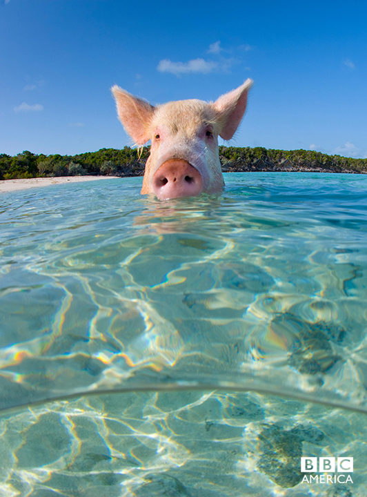 Episode 1  A domestic pig (Sus scrofa domestica) swimming in the sea. Exuma Cays, Bahamas. Tropical West Atlantic Ocean. This family of pigs live on this beach and enjoy swimming in the sea.
