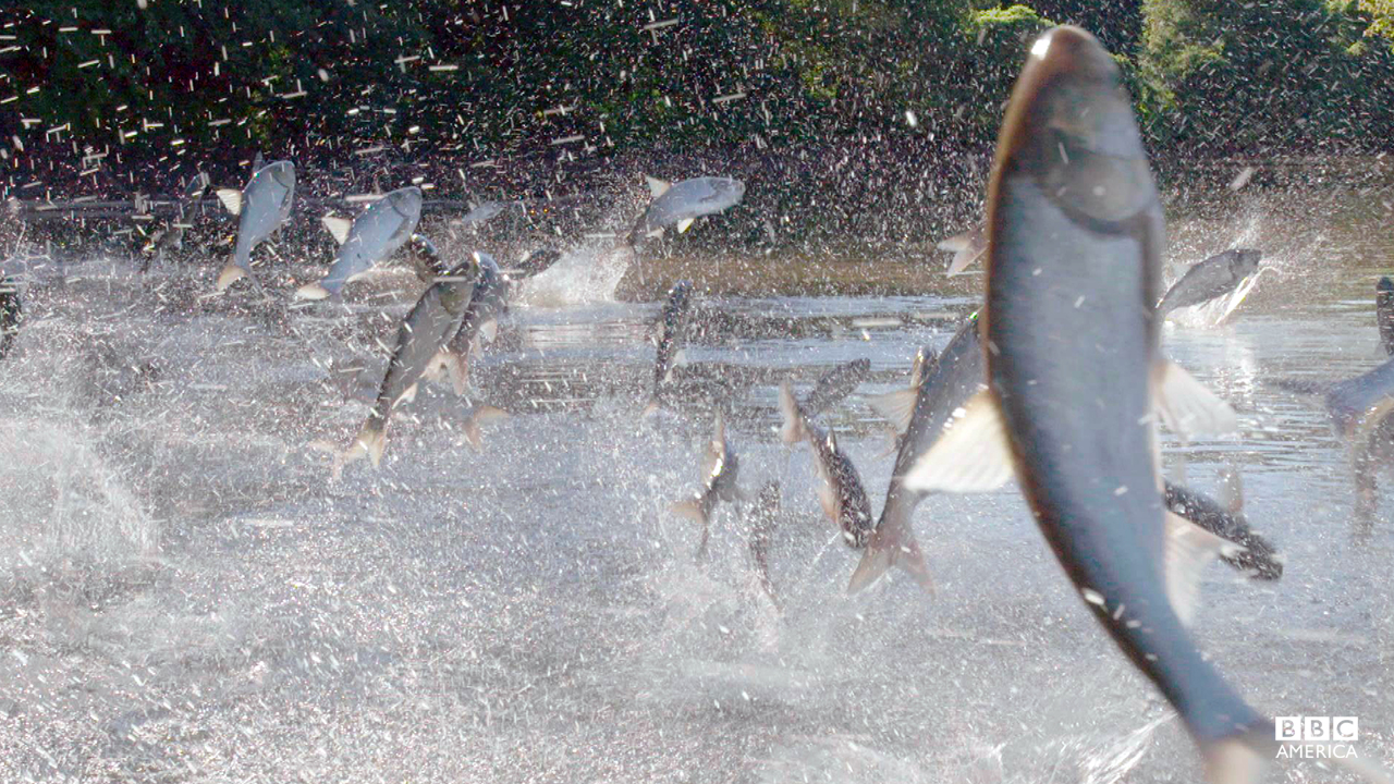 Episode 2  Boaters literally get a slap in the face from these giant fish as they motor down US waterways. Big enough to knock out a person, invasive Asian carp are proving a massive hazard as they leap into the air en-masse when startled by motorboats.