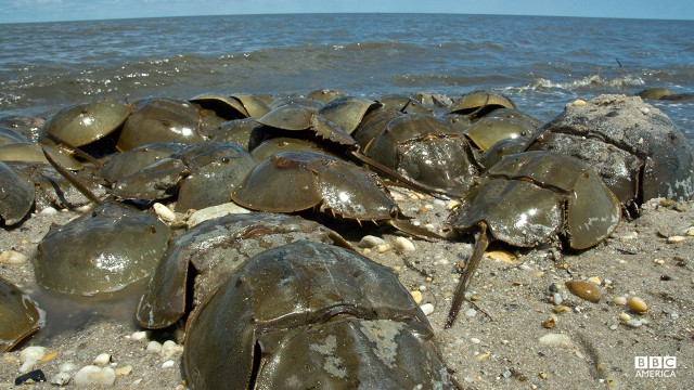 Episode 2  Horseshoe Crab (Limulus polyphemus), adults, mass spawning, on the beach during migration in the Delaware Bay, New Jersey, USA.