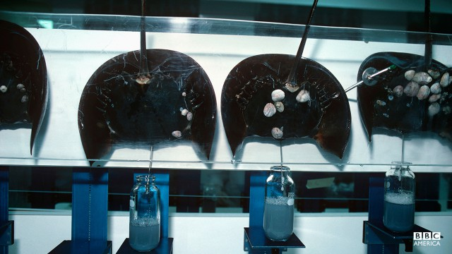 Episode 2  Scientists use technology to bleed Horseshoe Crabs (Limulus polyphemus) to extract blue, copper based blood in Massachusetts, USA.