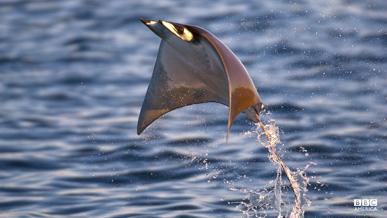 Episode 2  A Smoothtail Ray (Mobula thurstoni) flying out of the water in Baja California, Sea of Cortez (Gulf of California), Mexico.