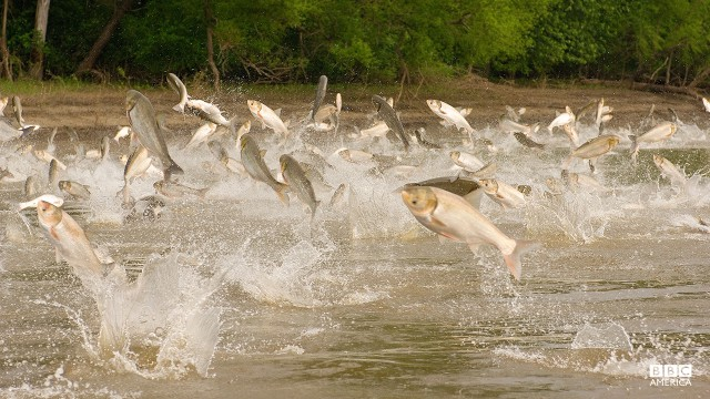 Episode 2  Two species of Asian carp, bighead and silver, jumping out of the Illinois River near Havana, Illinois.