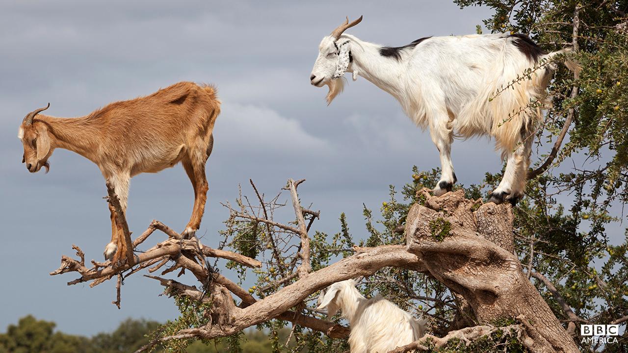 Episode 3  Goats up Argan tree, near Essaouira, Morocco, North Africa, Africa.