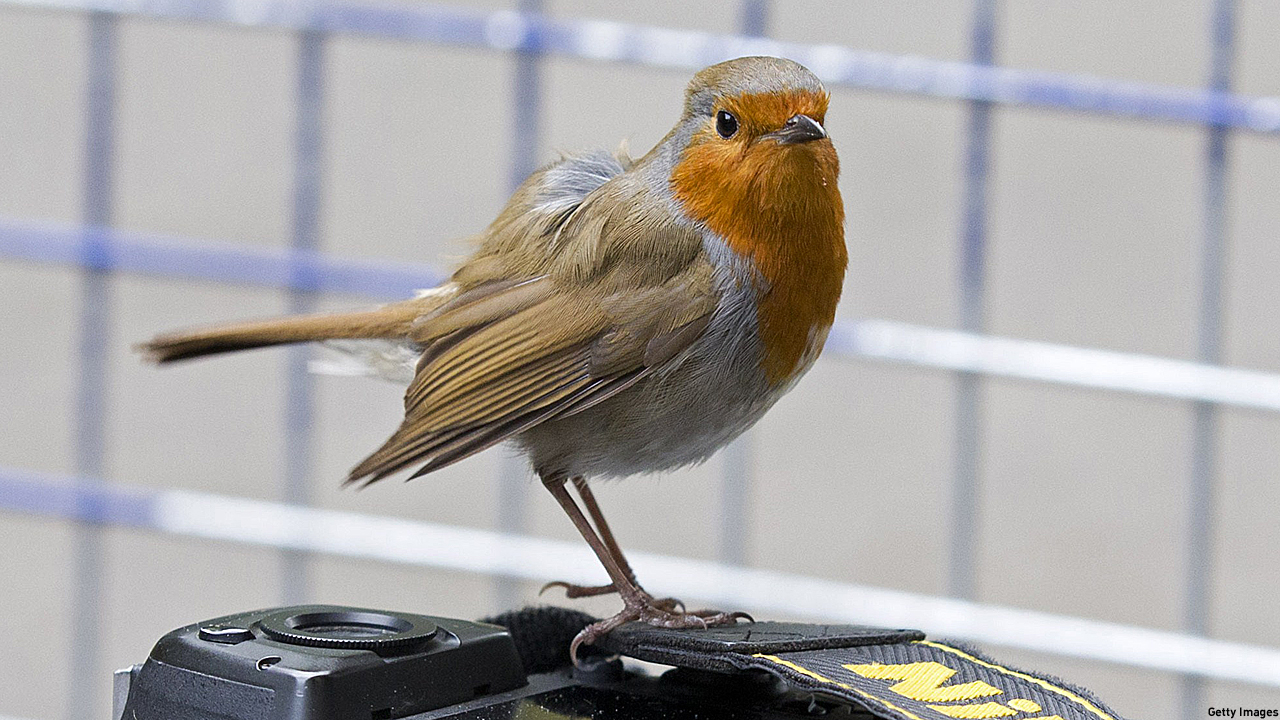 A robin, sitting on a camera (PIc: Justin Tallis/Getty Images)
