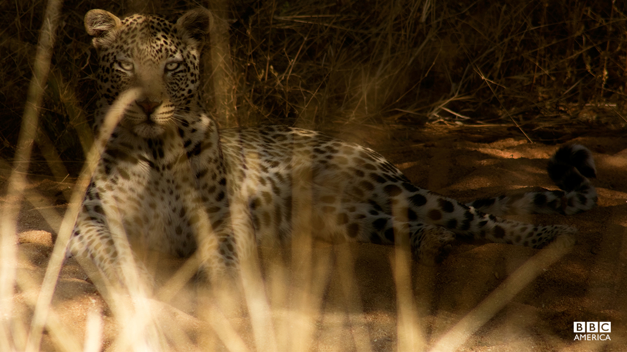 Episode 1  A rare glimpse of a Kalahari leopard — the most adaptable of the big cats. But the Kalahari isn't an easy place to live, even for a leopard. The 'Africa' crew immersed themselves in the world of this 'teenage' male as he learned how to survive on his own.