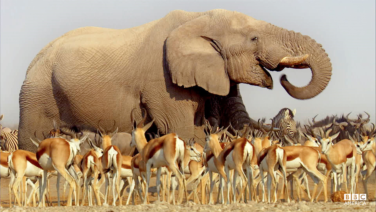 Episode 1  An African elephant towers above herds of antelope and zebra as they congregate at a precious waterhole on the Etosha salt pan in Namibia.