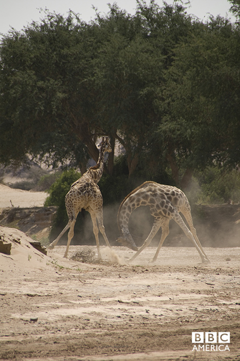 Episode 1  Rival male giraffes fight in the Hoanib, a river of sand in Namibia. Combat is usually avoided by giraffes but, just occasionally, when the stakes are high enough, males will violently swing their heads to deliver 'sledgehammer' blows. The 'Africa' team followed one male for over a month to capture behavior unlike anything seen before.