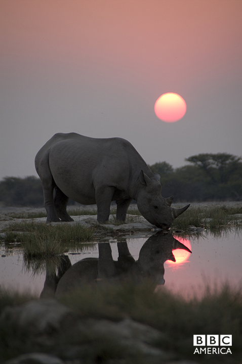 Episode 1  A black rhino arrives early at a secret waterhole to join a night time gathering of sometimes 15 or so other rhinos. The 'Africa' crew captured this unique behavior for the first, but possibly the last time — as poaching of black rhino has risen to a shocking level in the last five years.