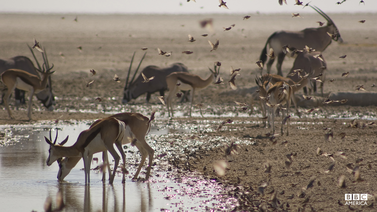 Episode 1  Springbok, oryx and Finch-larks — just a few of the hundreds of animals gathering at a single waterhole in Etosha, Namibia. At the height of the dry season, even a trickle of water is enough to attract huge numbers of usually solitary animals to drink.
