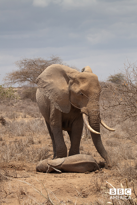 Episode 2  An African elephant mother stands over the body of her calf, a victim of the three consecutive years of drought in east Africa. The Africa crew witnessed the Savannah at its cruelest, and the devastating consequences for one particular family of elephants.