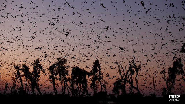 Episode 2  Eight million straw-colored fruit bats fill the sky above a tiny patch of forest in Kasanka, Zambia. This short-lived, annual aggregation is thought to contain the highest density of mammals anywhere in Africa. So it's no surprise that this natural event attracts crowds of hungry predators.