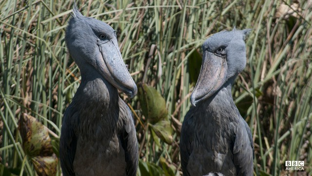 Episode 2  A pair of shoebills or whaleheads. Even though they are over 4ft tall, these extraordinary birds still proved very difficult to find; it took six months of research and a week on the ground to pinpoint the location and then two days to cut a path through an unmapped swamp in Zambia. Eventually the 'Africa' crew was able to film two proud parents and their chicks at the nest. So as not to disturb these vulnerable birds, the crew used state-of the-art, remote cameras to reveal behavior never seen before.