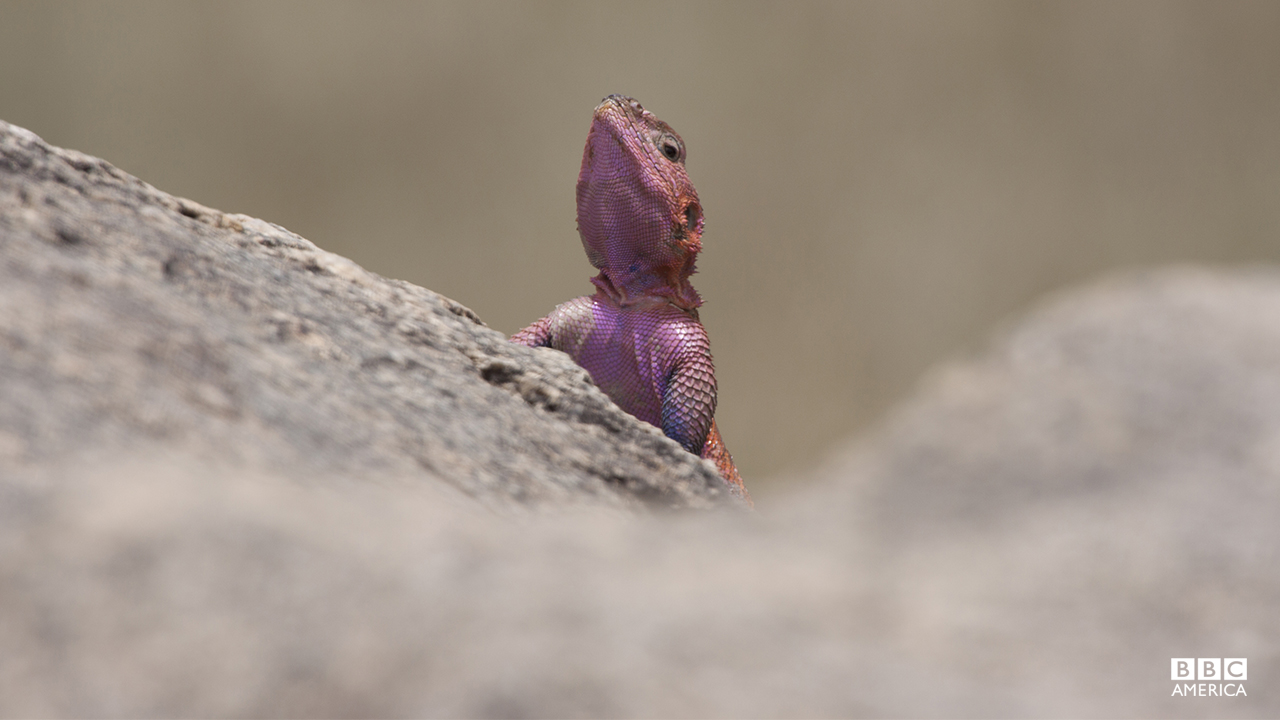 Episode 2  An adult male agama lizard poised to begin his brave mission to steal flies from the back of a sleeping lion.