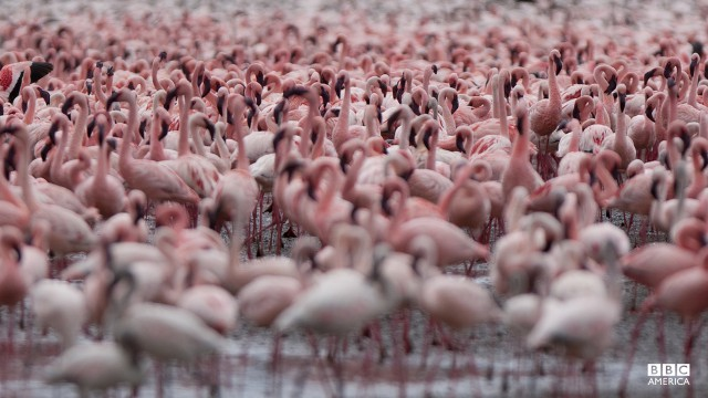Episode 2  Thousands of flamingos flock at one of east Africa's soda lakes. The birds are one of the few creatures that can tolerate the caustic conditions, and mass here to create one of the world's greatest natural spectacles.