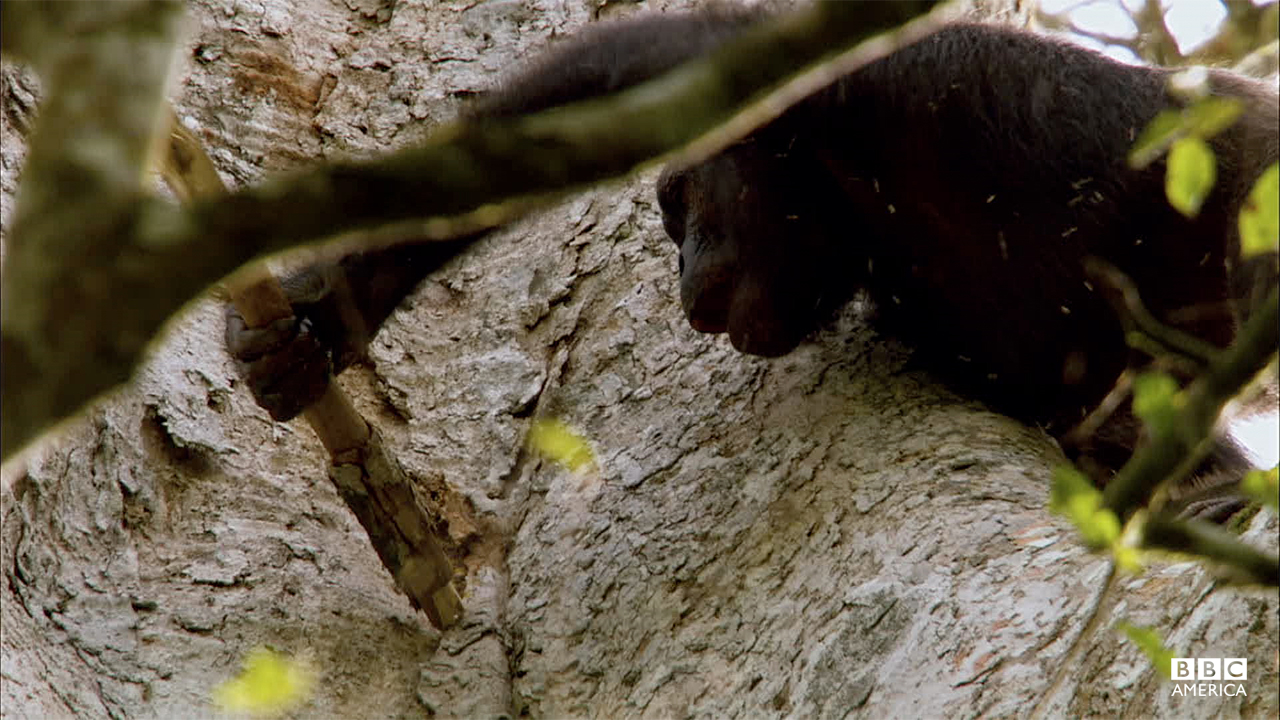 Episode 3  This young female chimp has learned to 'pound' for the honey stored in the nest of stingless bees. Hanging tens of meters in the air, she risks her life for a taste of sweetness. This is one of the most complicated forms of tool use yet filmed among Africa's great apes.
