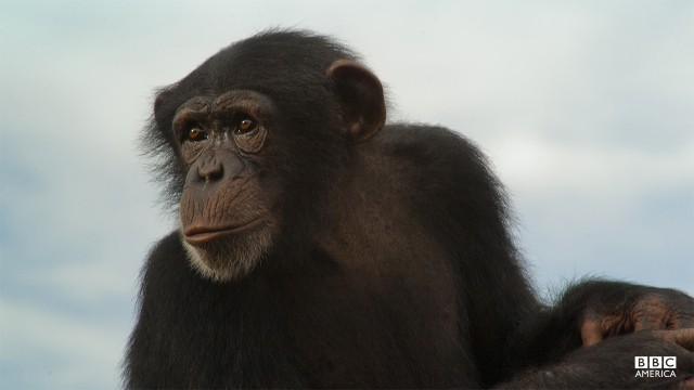 Episode 3  The chimpanzee is our closest relative, and like us they rely on ingenuity and invention to overcome the challenges of life. Filmed for the first time, one very special chimp has found a new source of food, accessible only with the use of a specially made tool and not inconsiderable daring.