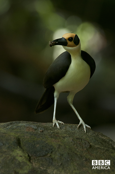 Episode 3  A rare and fleeting glimpse of Picathartes, or the white necked rockfowl, in Sierra Leone. In 1954, David Attenborough went in search of this striking bird for his first natural history documentary from the field: 'Zoo Quest'. The 'Africa' team spent weeks in the forest filming some of the most intimate images of this vulnerable and declining species rearing chicks in the wild.