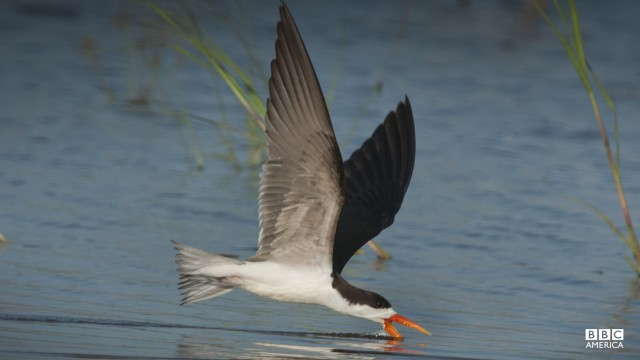 Episode 3  The African skimmers' long and stable wings allow them to glide just over the water. Dragging their elongated lower beak just under the surface, they 'skim' for their prey — snapping their beak shut the moment they touch a fish. Adult skimmers make it look easy but catching prey this way needs to be learned. The 'Africa' crew captured a skimmer chick's first few weeks of life, as it struggled to cope with its unusual bill and master the skills needed to fish.