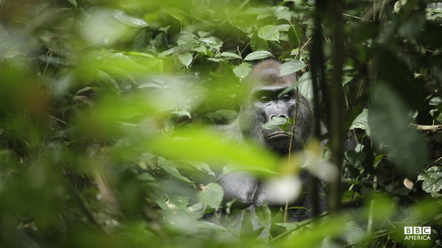 Episode 3  A western lowland gorilla seen through thick vegetation in west Africa. Africa's jungles are perhaps the most primal habitats on Earth, incredibly rich and diverse but by the same token, stifling. Even the mighty gorilla is both reliant on and trapped by the forest.