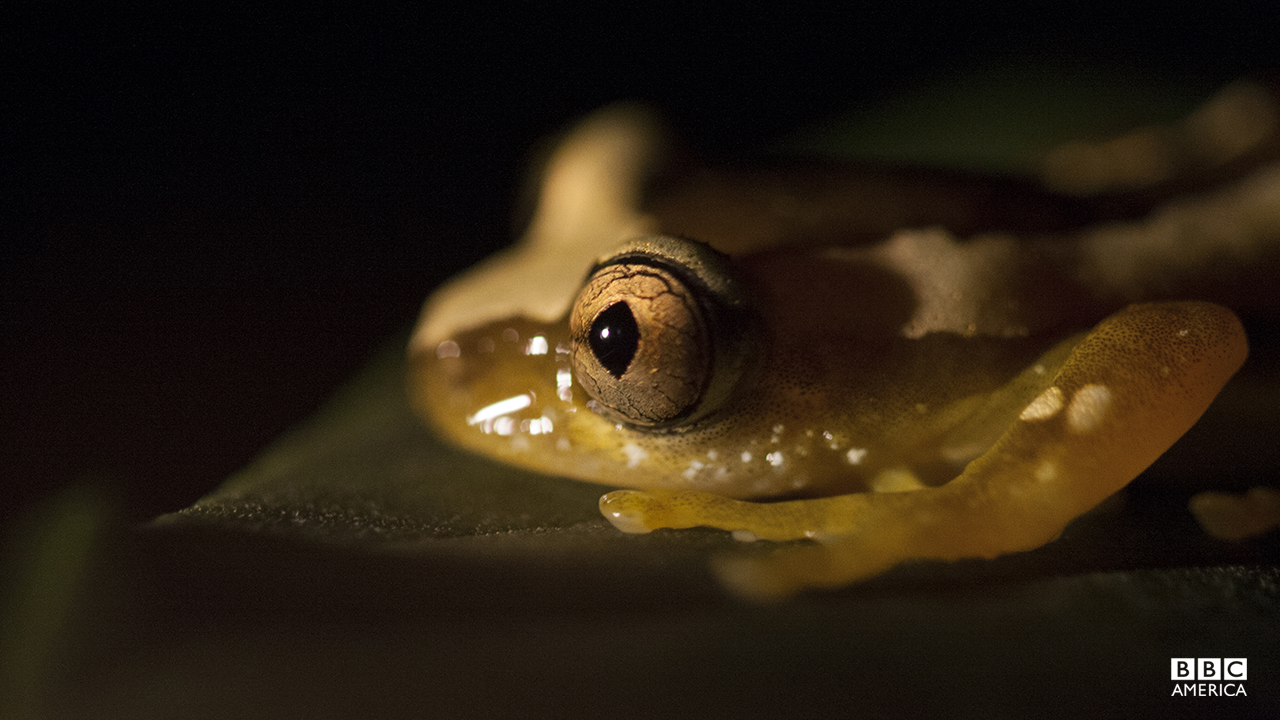Episode 3  Filmed at night in the wild for the first time, leaf folding frogs do exactly as their name suggests: creasing and gluing leaves to protect their precious eggs. The tadpoles develop in their specially constructed nest awaiting the next rain to dissolve the glue and release them for a life in the forest.
