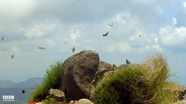 Episode 4  Countless butterflies, of numerous species 'hill top' in a spectacular dance to impress mates on the bare summit of Mount Mabu in Mozambique. The crew were the first to film at this site after its discovery on Google Earth.