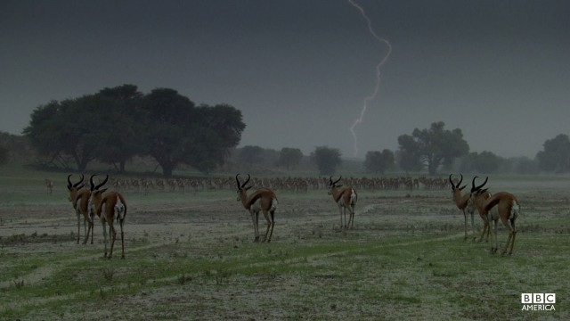 Episode 4  Lightning strikes in the distance as springbok (Antidorcas marsupialis) wait for rain to pass. These true desert specialists range over the world's greatest expanse of sand looking for grass renewed by rare and sporadic rains — when they find it, they seem to revel in the occasion but only once the rain has stopped falling!