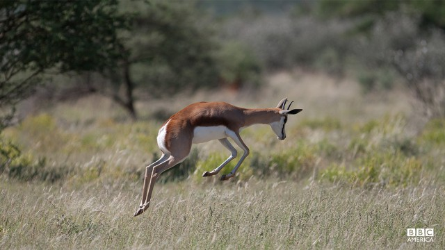 Episode 4  A springbok, true to its name, springs or 'pronks' in an exuberant display. There are many theories as to why springbok behave in this way but none have quite explained it. The 'Africa' crew filmed these elegant creatures seemingly 'dancing for joy' in super slow motion following a rare rain shower.