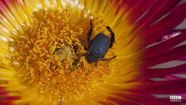 Episode 4  A male monkey beetle, in Namaqualand, gorges on the pollen of a vivid pink vygies bloom before beginning a day of courtship. He'll need all his energy to fight off his rivals in love. These beetles time their emergence to coincide with the flowering of the Namaqua 'desert garden' in South Africa.