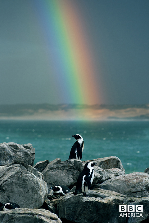 Episode 4  An African penguin relishes the cool of a rain shower on Africa's southern tip. These birds, perhaps better known from icy climates, nest on a few small islands every year on Africa's Cape. There are no trees to shade their eggs from the intense sun and so the adults must risk death to provide shade themselves.