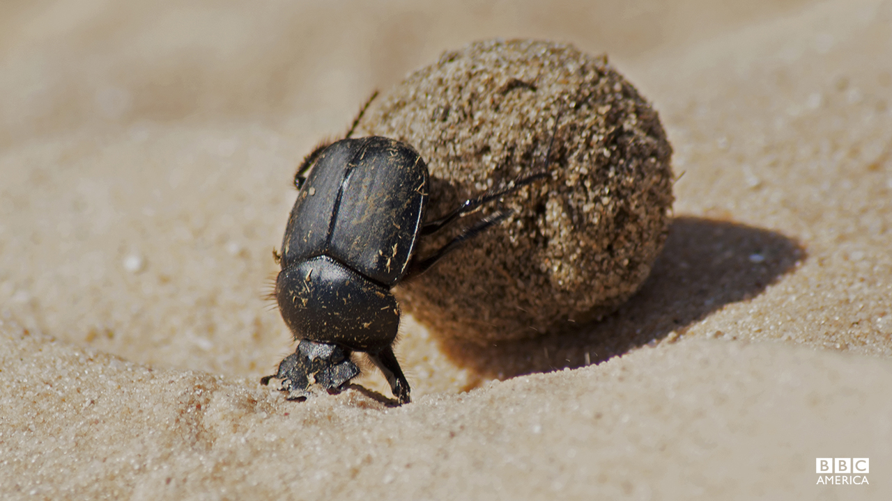 Episode 5  A dung beetle rolling a ball of camel dung. The Sahara is perhaps the most challenging environment for these beetles to survive on the continent. A rare dung pile, left by traveling camels, might be the only chance a beetle has to provide food for their young. But the hot sand and burning sun turn the dung roll into a race against time, with the odds stacked against the beetle.