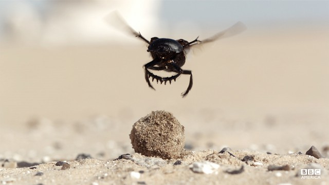 Episode 5  A dung beetle (Scarabaeus sacer) takes to the air in search of cooler temperatures. In Egypt's White Desert dung beetles roll balls of camel dung but must battle soaring temperatures that threaten their very lives.