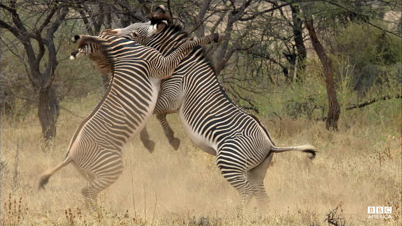 Episode 5  Two male Grevy's zebra rear up on their hind legs in an attempt to dominate one another. Grevy's zebra are the largest of the zebras and are supremely adapted to desert living. They fight to defend territory and for access to females, who wander the land in search of males.