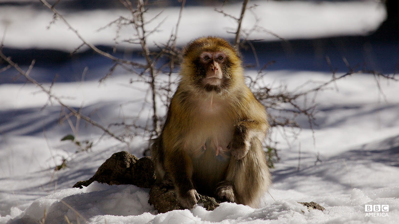 Episode 5  A Barbary macaque. Its kind were separated from their ancestors in the south when the Sahara first formed, and are now trapped in the snow-capped Atlas Mountains.
