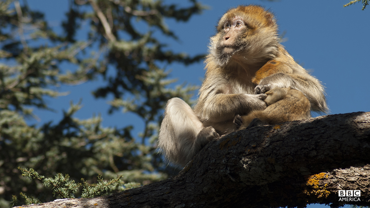 Episode 5  A Barbary macaque, clutching its infant, is perched in a cedar tree high in the Atlas Mountains in mid winter. Much of north Africa including the Sahara was once forested and this small patch is one of only a few areas that remain.