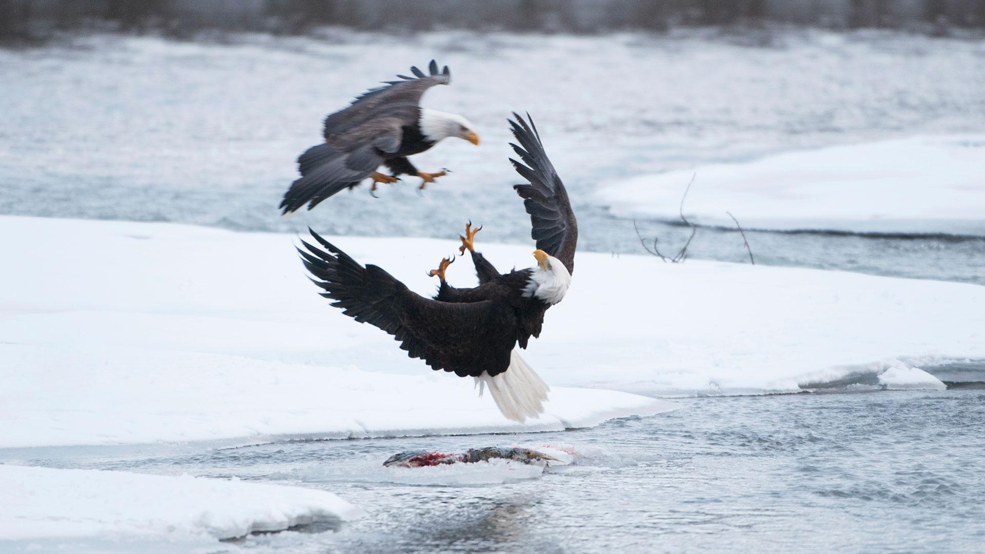 Wild Alaska Bbc America